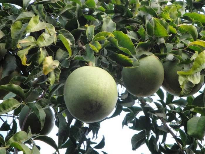 Bael ,Wood Apple